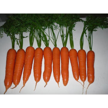 Good Quality Common Seen Fresh Carrot Red Colour